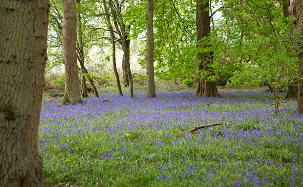 Bluebells at Chiltern Open Air Museum