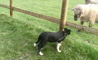 sheep dog pup, Jess, looking at a sheep