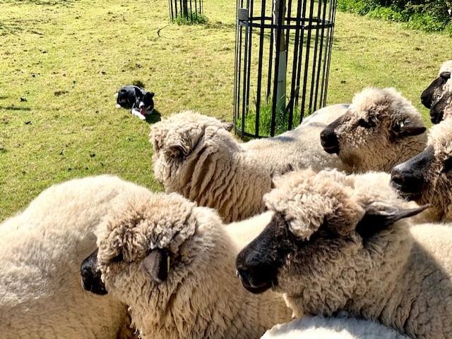 Jess the sheepdog working the sheep