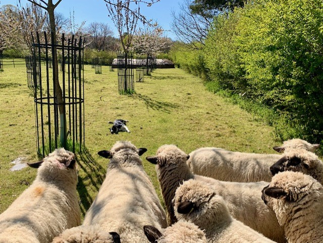 Jess sunbathing while keeping the sheep in check