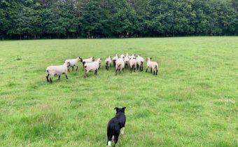 Sheepdog Jess working the sheep